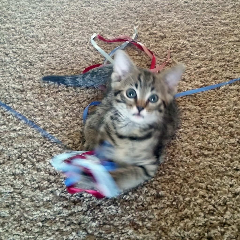 Mindy, a kitten Dr. Risan fostered